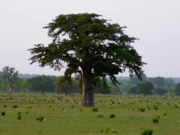 Baobab (Adansonia Digitata) https://www.sagebud.com/baobab-adansonia-digitata