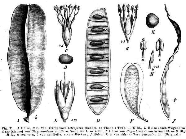 Beadtree (Adenanthera) https://www.sagebud.com/beadtree-adenanthera