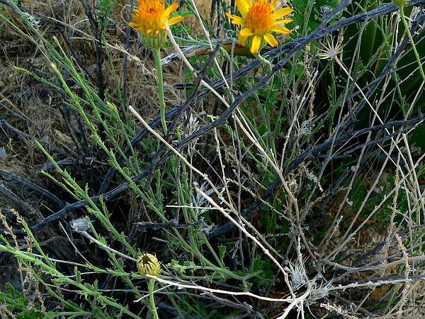Dogweed (Adenophyllum) https://www.sagebud.com/dogweed-adenophyllum
