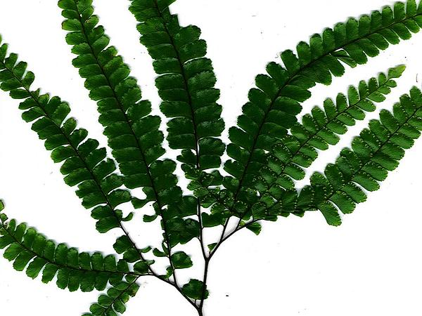 Rough Maidenhair (Adiantum Hispidulum) https://www.sagebud.com/rough-maidenhair-adiantum-hispidulum