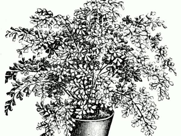 Maidenhair Fern (Adiantum) https://www.sagebud.com/maidenhair-fern-adiantum