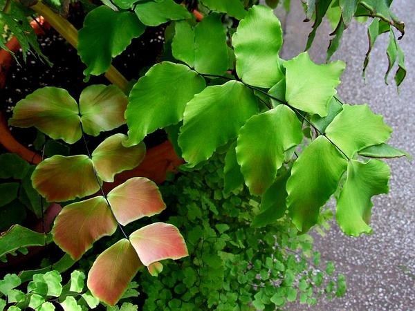 Largeleaf Maidenhair (Adiantum Macrophyllum) https://www.sagebud.com/largeleaf-maidenhair-adiantum-macrophyllum/
