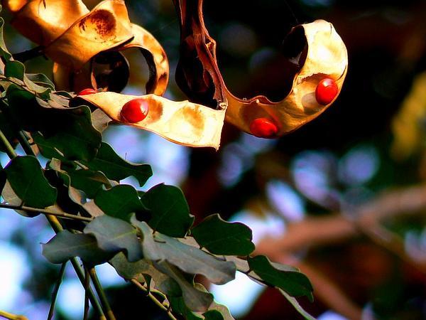 Red Beadtree (Adenanthera Pavonina) https://www.sagebud.com/red-beadtree-adenanthera-pavonina/
