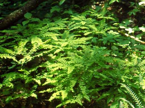 Northern Maidenhair (Adiantum Pedatum) https://www.sagebud.com/northern-maidenhair-adiantum-pedatum