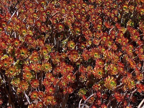 Tree Aenium (Aeonium Arboreum) https://www.sagebud.com/tree-aenium-aeonium-arboreum