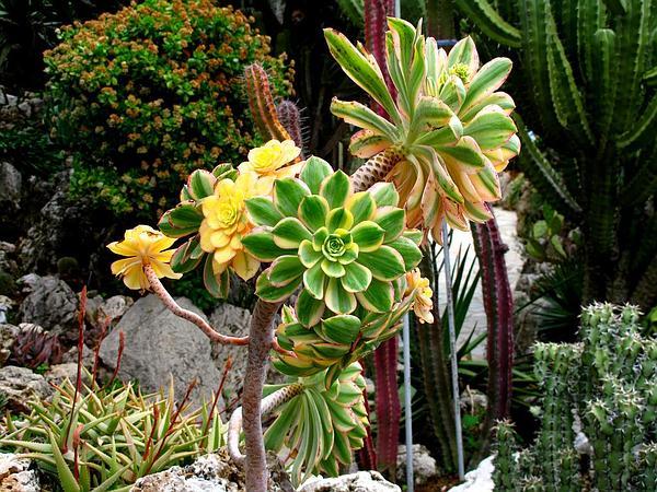 Tree Aenium (Aeonium Arboreum) https://www.sagebud.com/tree-aenium-aeonium-arboreum/