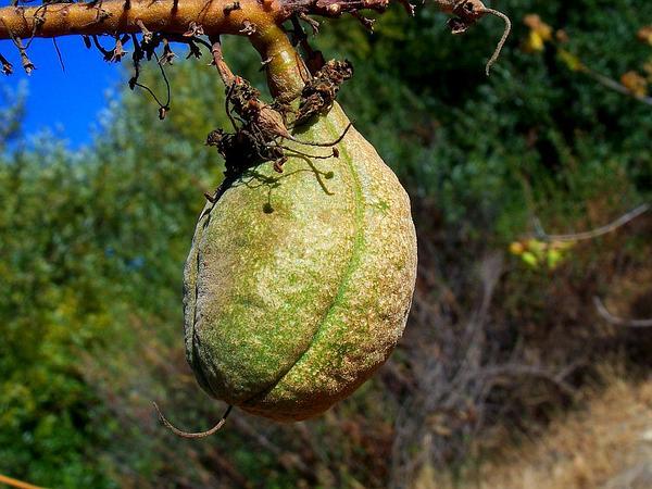 California Buckeye (Aesculus Californica) https://www.sagebud.com/california-buckeye-aesculus-californica