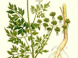 Fool's Parsley