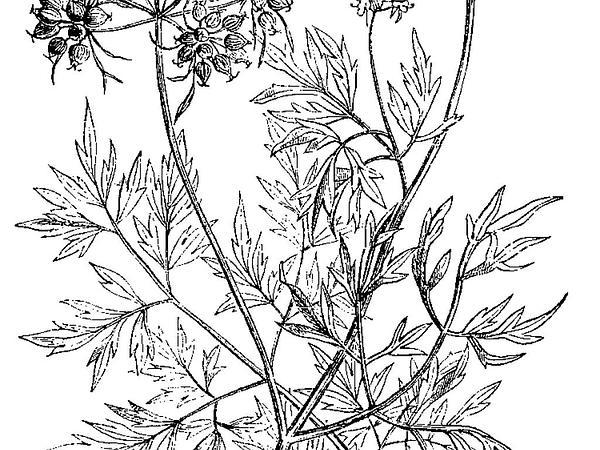 Fool's Parsley (Aethusa Cynapium) https://www.sagebud.com/fools-parsley-aethusa-cynapium