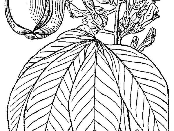 Yellow Buckeye (Aesculus Flava) https://www.sagebud.com/yellow-buckeye-aesculus-flava/