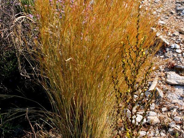 Goatgrass (Aegilops) https://www.sagebud.com/goatgrass-aegilops