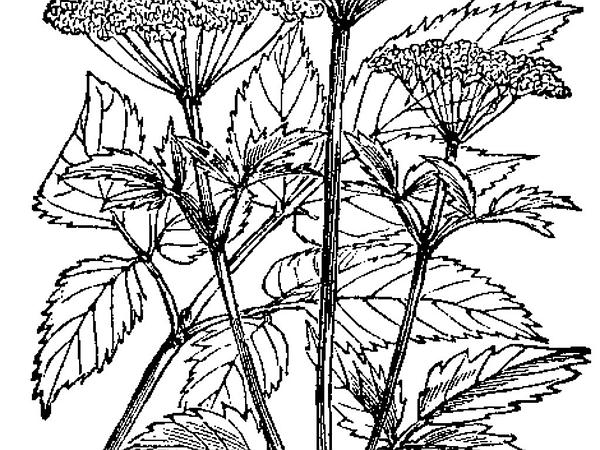 Goutweed (Aegopodium) https://www.sagebud.com/goutweed-aegopodium