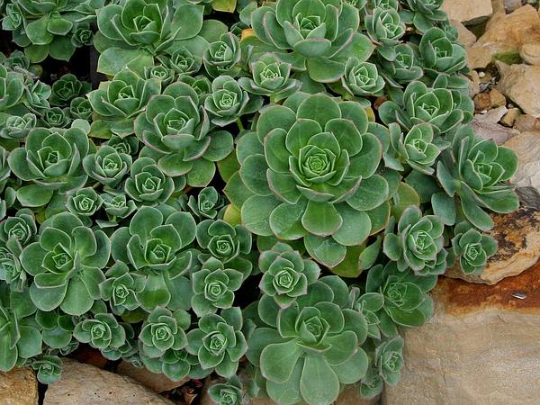 Haworth's Aeonium (Aeonium Haworthii) https://www.sagebud.com/haworths-aeonium-aeonium-haworthii