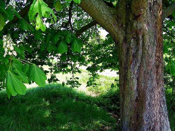 Horse Chestnut (Aesculus Hippocastanum) https://www.sagebud.com/horse-chestnut-aesculus-hippocastanum