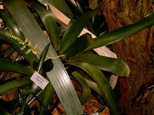 West Indian Livingvase (Aechmea Lingulata) https://www.sagebud.com/west-indian-livingvase-aechmea-lingulata