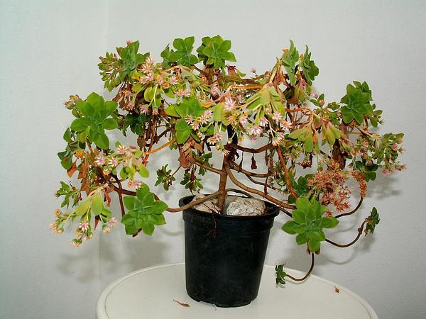 Aeonium (Aeonium) https://www.sagebud.com/aeonium-aeonium