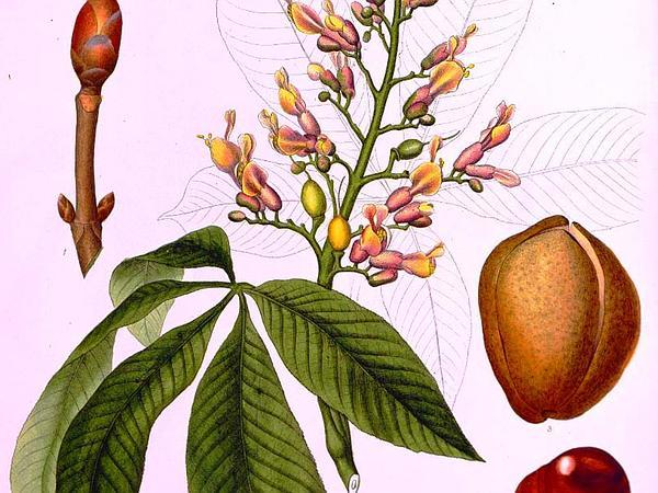 Red Buckeye (Aesculus Pavia) https://www.sagebud.com/red-buckeye-aesculus-pavia