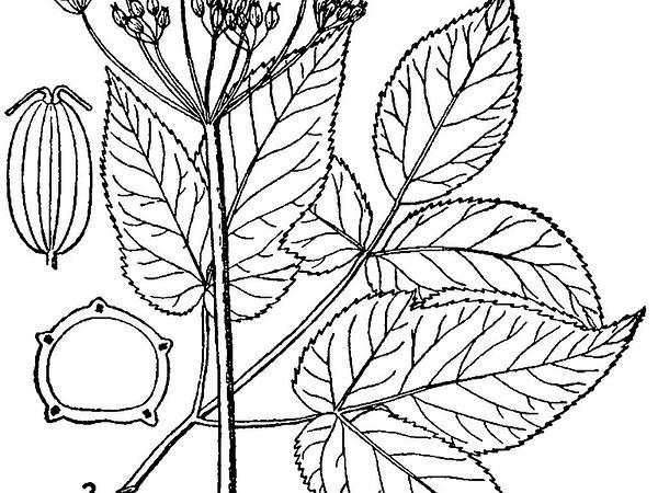 Bishop's Goutweed (Aegopodium Podagraria) https://www.sagebud.com/bishops-goutweed-aegopodium-podagraria