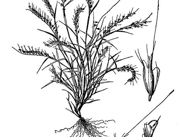 Fragilegrass (Aegopogon Tenellus) https://www.sagebud.com/fragilegrass-aegopogon-tenellus