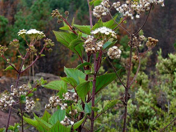 Sticky Snakeroot (Ageratina Adenophora) https://www.sagebud.com/sticky-snakeroot-ageratina-adenophora