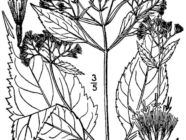 White Snakeroot (Ageratina Altissima) https://www.sagebud.com/white-snakeroot-ageratina-altissima