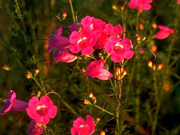 False Foxglove (Agalinis) https://www.sagebud.com/false-foxglove-agalinis
