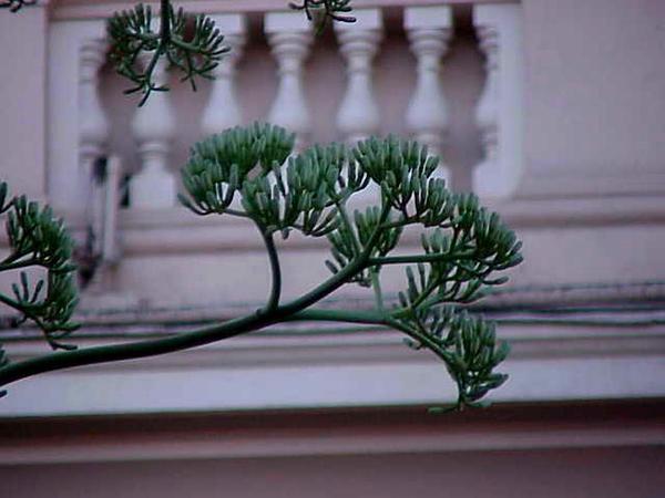 American Century Plant (Agave Americana) https://www.sagebud.com/american-century-plant-agave-americana