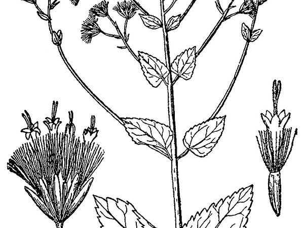 Lesser Snakeroot (Ageratina Aromatica) https://www.sagebud.com/lesser-snakeroot-ageratina-aromatica/