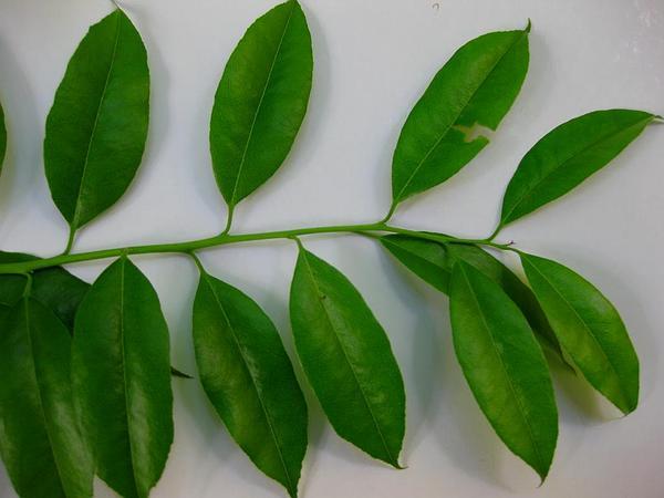 Florida Hobblebush (Agarista) https://www.sagebud.com/florida-hobblebush-agarista