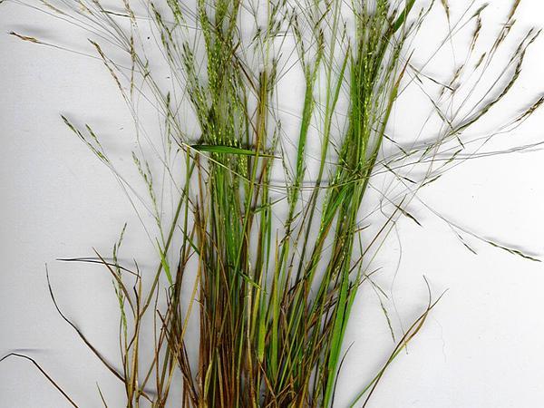 Pacific Bentgrass (Agrostis Avenacea) https://www.sagebud.com/pacific-bentgrass-agrostis-avenacea