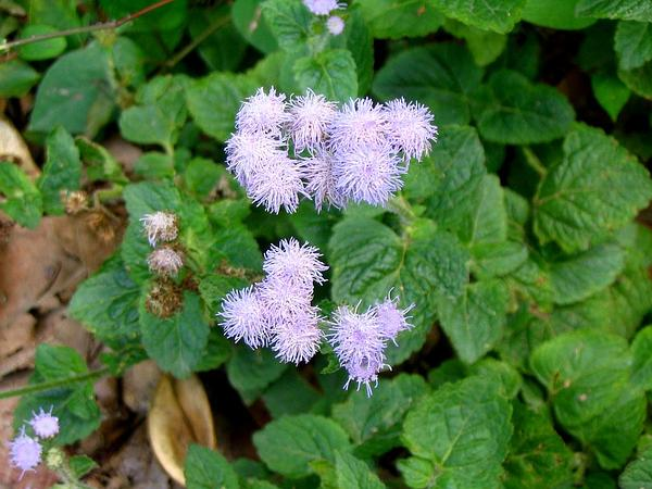 Tropical Whiteweed (Ageratum Conyzoides) https://www.sagebud.com/tropical-whiteweed-ageratum-conyzoides