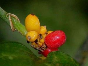 Philippine Evergreen