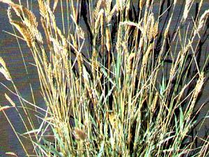 Crested Wheatgrass