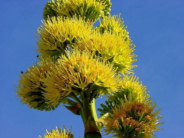 Desert Agave (Agave Deserti) https://www.sagebud.com/desert-agave-agave-deserti
