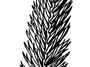 Desert Wheatgrass
