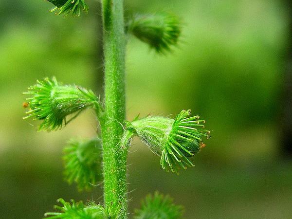Churchsteeples (Agrimonia Eupatoria) https://www.sagebud.com/churchsteeples-agrimonia-eupatoria