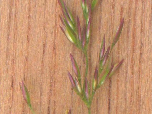 Redtop (Agrostis Gigantea) https://www.sagebud.com/redtop-agrostis-gigantea