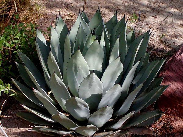 Palmer's Century Plant (Agave Palmeri) https://www.sagebud.com/palmers-century-plant-agave-palmeri