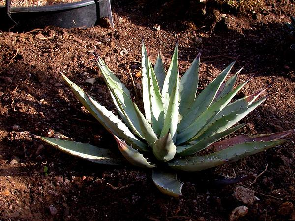 Parry's Agave (Agave Parryi) https://www.sagebud.com/parrys-agave-agave-parryi