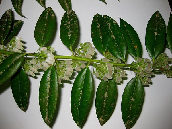 Florida Hobblebush (Agarista Populifolia) https://www.sagebud.com/florida-hobblebush-agarista-populifolia