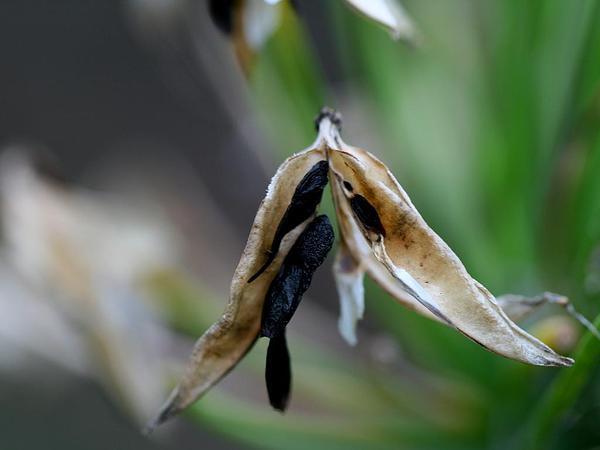 African-Lily (Agapanthus Praecox) https://www.sagebud.com/african-lily-agapanthus-praecox