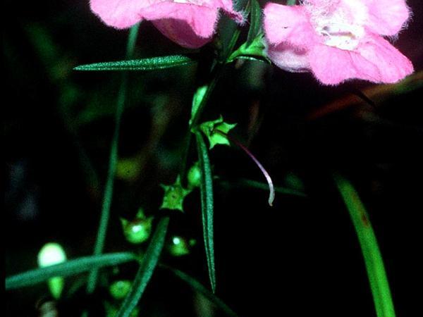 Purple False Foxglove (Agalinis Purpurea) https://www.sagebud.com/purple-false-foxglove-agalinis-purpurea