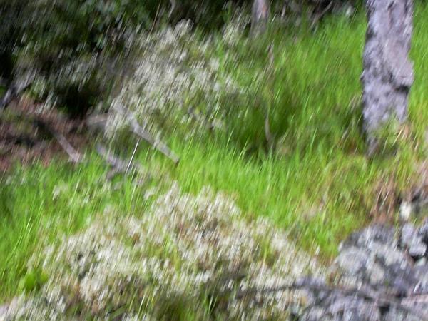 Spreading Snakeroot (Ageratina Riparia) https://www.sagebud.com/spreading-snakeroot-ageratina-riparia