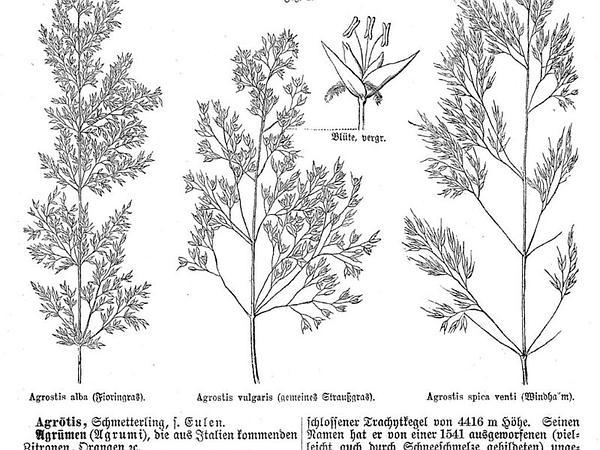 Bentgrass (Agrostis) https://www.sagebud.com/bentgrass-agrostis