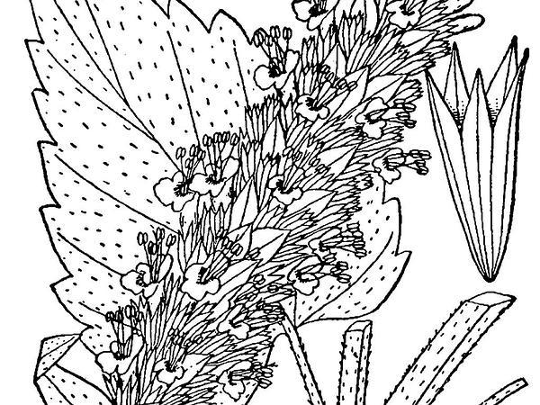 Purple Giant Hyssop (Agastache Scrophulariifolia) https://www.sagebud.com/purple-giant-hyssop-agastache-scrophulariifolia/