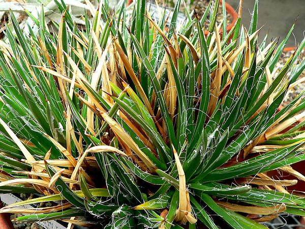 Toumey's Century Plant (Agave Toumeyana) https://www.sagebud.com/toumeys-century-plant-agave-toumeyana