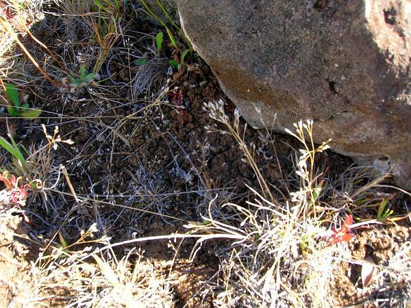 Silver Hairgrass (Aira Caryophyllea) https://www.sagebud.com/silver-hairgrass-aira-caryophyllea
