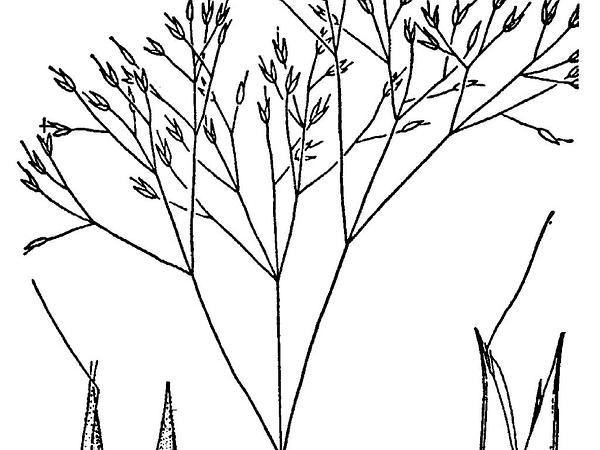 Annual Silver Hairgrass (Aira Elegans) https://www.sagebud.com/annual-silver-hairgrass-aira-elegans