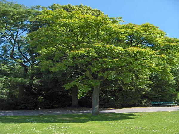 Ailanthus (Ailanthus) https://www.sagebud.com/ailanthus-ailanthus