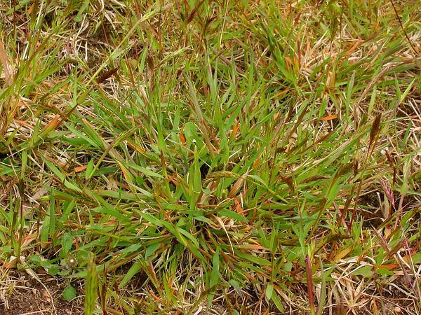 Yellow Hairgrass (Aira Praecox) https://www.sagebud.com/yellow-hairgrass-aira-praecox